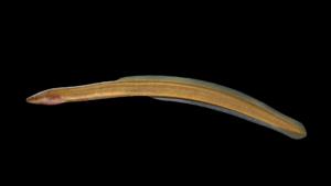 Anguila rostrata