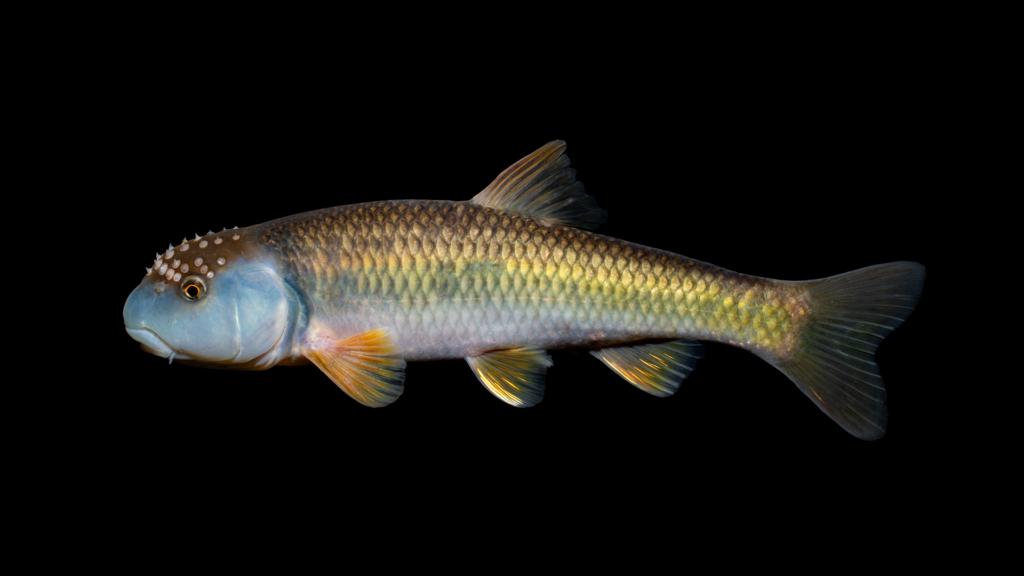 Nocomis leptocephalus Catawba River