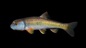 Nocomis leptocephalus
