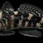 Bathygobius soporator