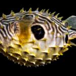 Chilomycterus schoepfi