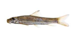 Moxostoma ariommum