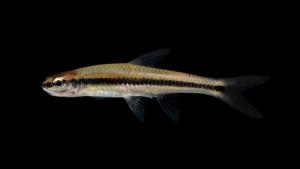Notropis bifrenatus